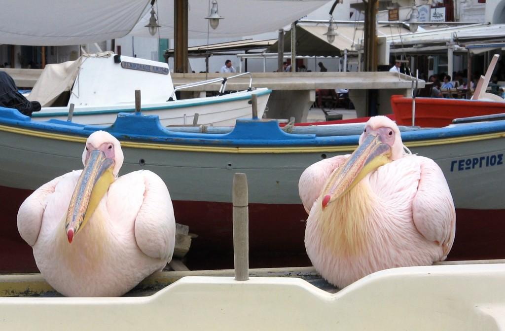 Pelikaner på kajen